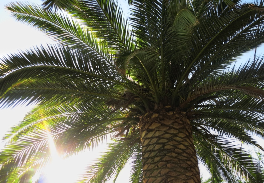 palm_tree_Athens