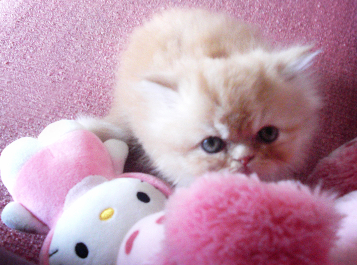 persian_kitten_pink